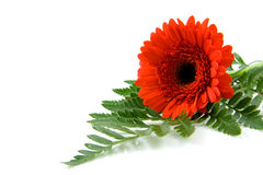 Red Gerber flower on leaf in closeup Stock Image