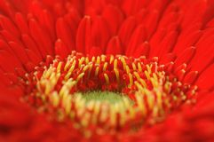 Red gerbera Royalty Free Stock Photo