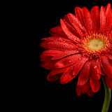 Red gerbera Stock Images