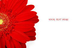 Red gerbera Stock Photo