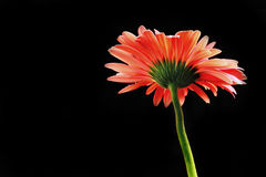 Red gerbera. A red gerbera at black background Royalty Free Stock Photos