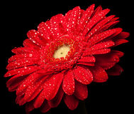 Red gerbera. Red geerbera with waterdrops on black background Royalty Free Stock Photography