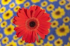 Red gerbera Royalty Free Stock Photos