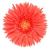The red Gerbera Stock Images