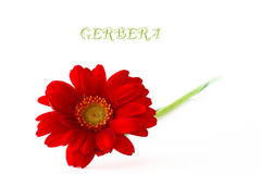 The red gerbera. Red gerbera on a white background Royalty Free Stock Photography