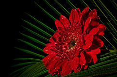 Red gerbera Royalty Free Stock Images
