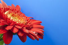 Red gerbera. On a blue background with drops Stock Photo