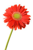 Red gerbera. On white background Royalty Free Stock Images