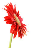 Red gerbera. On white background Royalty Free Stock Photography