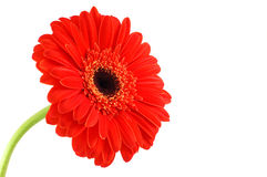 Red gerbera. On a white background stock photography
