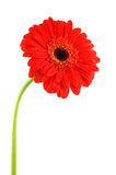 Red gerbera. On a white background royalty free stock image