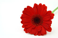 Red gerbera Stock Photography