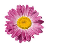 Free Red Gerbera Royalty Free Stock Photography - 5592867