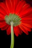 Red gerbera Royalty Free Stock Images