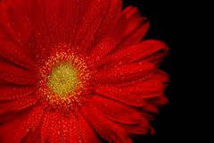 Red gerbera Royalty Free Stock Photo