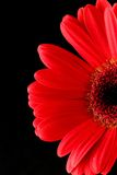 Red Gerbera. Daisy on Black background Royalty Free Stock Images