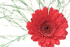 Red gerbera from above. Red blossom of gerbera with waterdrops and baby's breath Stock Photos