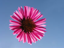 Red gerbera against clear blue sky Royalty Free Stock Photos