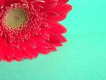 Red Gerbera Background. High resolution digital photo of a close-up red gerbera daisy with open space or background royalty free stock photo