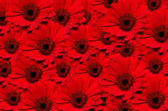 Red Gerbera background Royalty Free Stock Photo