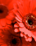 Red Gerbera Background. Background of Beauty Red Gerbera Flowers closeup. Focus on Edge of Petals Royalty Free Stock Photography