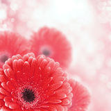 Red gerbera background with bokeh effect Royalty Free Stock Photo