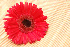 Red Gerbera on Bamboo Royalty Free Stock Images