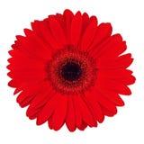 Red Gerbera Stock Image