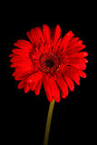 Red gerbera on black background Stock Photo