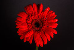 Red gerbera on black background Royalty Free Stock Images