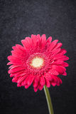 Red gerbera on black. Red gerbera flower on black Royalty Free Stock Photos