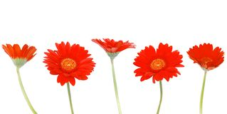 Red gerbera blooms daisy. Background stock photos