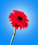 Red gerbera on blue. Stock Images