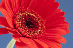 Red Gerbera on Blue Royalty Free Stock Photo