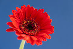 Red Gerbera on bright blue background Stock Photography