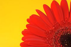 Red Gerbera Close Up Stock Images