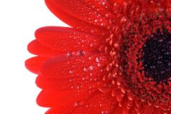 Red gerbera close up Stock Photography