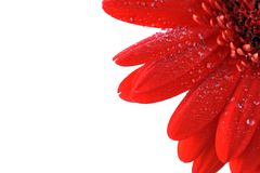 Red Gerbera Close Up Royalty Free Stock Images