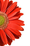 Red gerbera close-up. On white background stock images