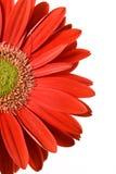 Red gerbera close-up Stock Images