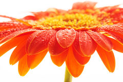 Red gerbera closeup with dew Stock Photos