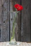 Red Gerbera closeup Stock Photography