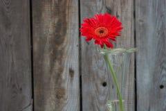 Red Gerbera closeup Stock Images