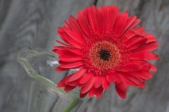 Red Gerbera closeup Stock Photo