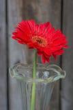 Red Gerbera closeup Royalty Free Stock Photo