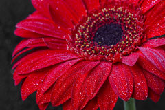 Red gerbera closeup with water drops on petals, macro flower pho Royalty Free Stock Photography