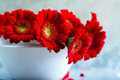 Red Gerbera Daisies Stock Photography
