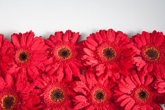 Red gerbera daisies Stock Photo