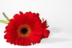 Red Gerbera daisy. On white background Royalty Free Stock Image