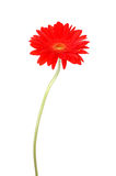 Red gerbera daisy Stock Photos